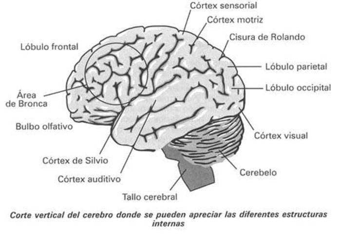 Anatomía Y Fisiología Del Sistema Neurológico | Enfermería en ...