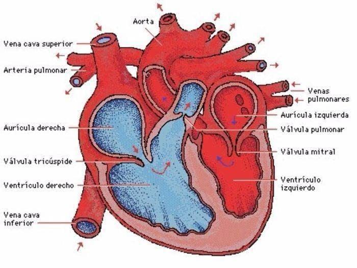 Capitulo Anatomía Fisiología Y Patología Cardiaca Y Grandes Vasos ...
